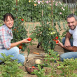 Stock Photo: Couple picking tomatoes