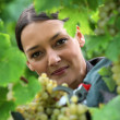 Female wine producer  cropping grapes - Stock Photo