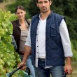 Royalty-Free Stock Photo: Grape picking