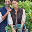 Picking grapes during harvest time - Stock Photo