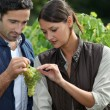 Couple examining grape vine — Stock Photo