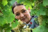 Weibliche weinproduzent zuschneiden trauben — Stockfoto