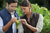Couple examining grape vine — Stock Photo