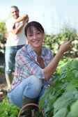 Plukken van tuinbonen — Stockfoto