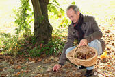 Man collecting chestnuts — Stock Photo