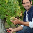 Stock Photo: Mpicking grapes during grape harvest