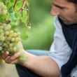 Stock Photo: Mworking in vineyard
