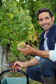 Man picking grapes during the grape harvest — Stock Photo