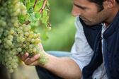 Homme travaillant dans un vignoble — Photo