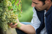 Man working in a vineyard — 图库照片