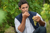 Man eating grapes in a vineyard — Stock Photo