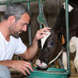 Stock Photo: Farmer feeding and stroking calf