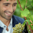 Stock Photo: Grape grower cutting bunch of grapes