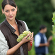 Woman harvesting grapes. - Stock Photo