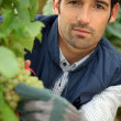 Stock Photo: Male agriculter pruning vine