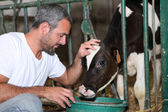 Farmer feeding and stroking calf — Stock Photo