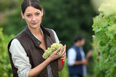 Woman harvesting grapes. — Stockfoto