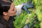 Grape grower examining her grapes — Stock Photo