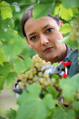 Woman gathering grapes from vine — Stock Photo