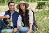 Couple picking grapes in a vineyard — Stock Photo