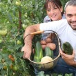 图库照片: Couple growing vegetables