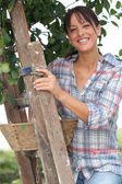 Woman picking apples from tree — Stockfoto