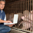 Man breeding pigs - Stock Photo