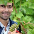 Mpicking grapes — Stock Photo #7903064