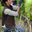Stock Photo: Woman harvesting grapes.