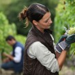 Woman harvesting grapes — Stock Photo