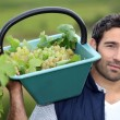 Stock Photo: Man harvesting grapes in a vineyard