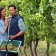 Couple picking grapes - Photo