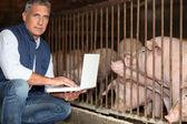 Man breeding pigs — Stock Photo