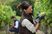 Kvinna skörda druvor — Stockfoto
