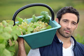Man harvesting grapes in a vineyard — Stock fotografie