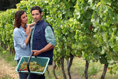 Couple picking grapes — Stock Photo