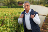 Mature grape-picker carrying hod on his back — Stock Photo