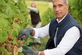 Couple tending grapevines — Stock Photo