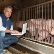 50 years old breeder with a laptop in front of pigs — Stock Photo #7910769