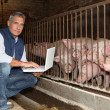 Stock Photo: 50 years old breeder with laptop in front of pigs