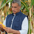 Stock Photo: Farmer watching corncob in cornfield