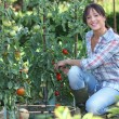 Young woman picking tomatoes — Stock Photo