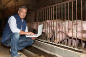 50 years old breeder with a laptop in front of pigs — Stock Photo