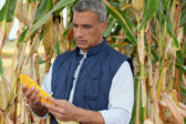 Farmer watching a corncob in a cornfield — Stock Photo
