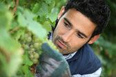 Onun üzüm bağıyla çalışan adam — Stok fotoğraf