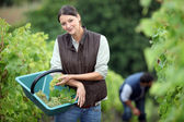 Farming couple collecting grapes — Stock Photo