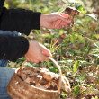 Person picking mushrooms — Stock Photo #7926096