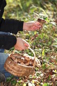 Person picking mushrooms — Stock Photo