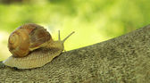 Snail on tree — Stock Photo