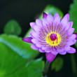Water lily — Stock Photo #7596087